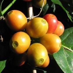 Arcaffe Rigtig Kaffe Vellakadai v/24kg