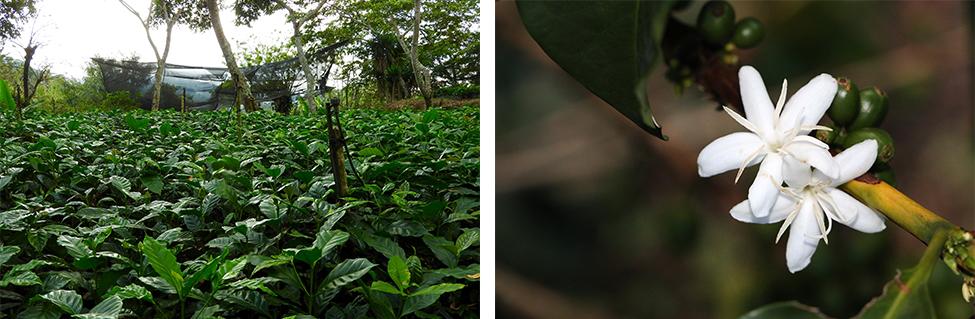 Guatemala kaffeplantage og kaffeblomst