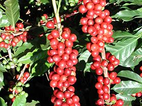 Kaffe frugt
